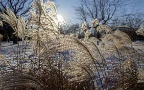the casual gardener ornamental grasses are great for winter the