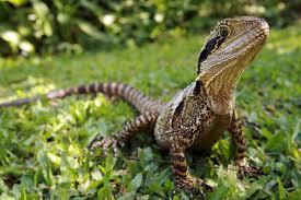 Backyard Reptiles Lizards
