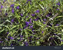 purple flowering australian native plants west australian wildflower native creeper hardenbergia stock photo