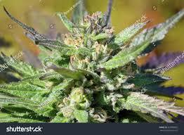 macro mature cannabis flower grow operation stock photo 327883865