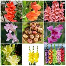 Gladiolus Flowers Popular Gladiolus Flowers Buy Cheap Gladiolus Flowers Lots From