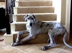 Blind Great Dane Ava My Blue Merle Great Dane Puppies I Want Pinterest