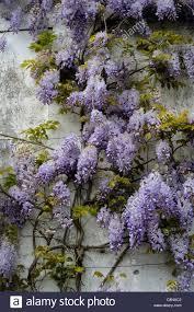 wisteria sinensis wisterias spring closeup blue petals flowers