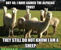 Alpaca Sheep Meme - undercover sheep undercover alpacas and animal