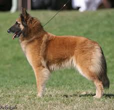 belgian shepherd nz belgian shepherd dogs belgian shepherds belgian sheepdogs