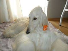 afghan hound dogs 101 dogs 101 afghan hound eng my love pinterest afghans
