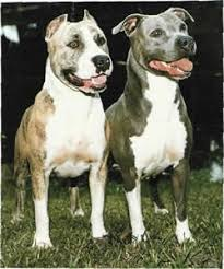 american pitbull terrier types view ad american pit bull terrier dog for adoption california