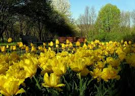 flower sunshiny day garden tulip benches bench yellow tulips