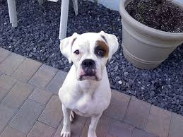 bulldog y boxer gingival hyperplasia and boxers teeth the daily boxer