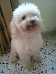 belgian sheepdog poodle mix poodle a letter to my dog part 4