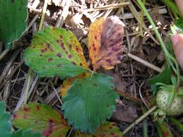 Strawberry Plant Diseases - leaf scorch fruit yard and garden university of minnesota