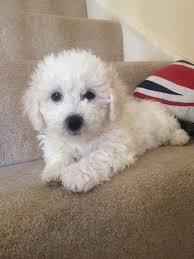 bichon frise puppy 8 weeks bichon frise puppy for sale in consett county durham gumtree