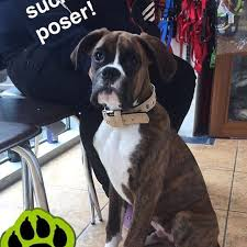 boxer dog grooming gallery for mutt u0027s sake dog grooming salon youghal pet accessories