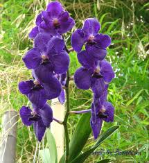 Blue Orchid Flower - blue orchid blue orchid flower
