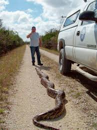 Pythons In Florida Map by 18 Foot Long Monster Python Caught In Florida U2013 National