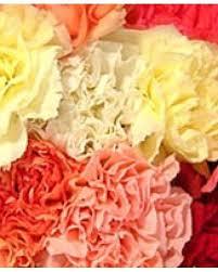 Wholesale Carnations 300 Fresh Cut Carnations