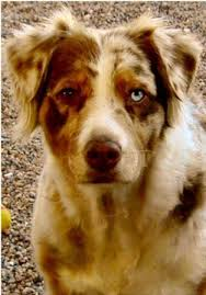 lifespan of australian shepherd australian shepherd breed information history health pictures