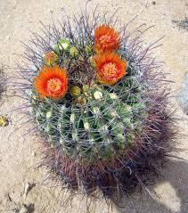 native desert plants desert region joshua lessons tes teach