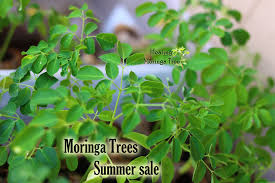 bulk moringa trees value pack