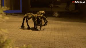 Spider Dog Halloween Costume 9 Dogs Totally Nailed Halloween Rover
