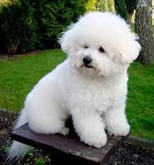 bichon frise dog pictures 156 best bichon frise cutest dog ever images on pinterest