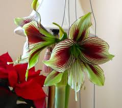 cheap thrills plant amaryllis and caladium for drama in your