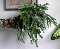 81 best cacti schlumbergera hatiora cylindropuntia