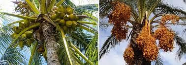Palm Trees Fruit - wax palm tree fruit is strawberry a fruit