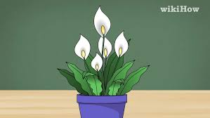 peace plant how to care for peace lilies 15 steps with pictures wikihow