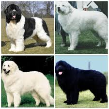Do Newfoundlands Shed Year Round by Which Big Fluffy Dog Do I Want Landseer Great Pyrenees Kuvasz