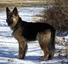 belgian sheepdog size and weight king shepherd dog breed information and pictures
