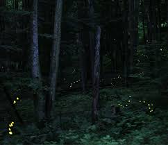 How Do Fireflies Light Up Curiocity Curiocité How Do Fireflies Glow Like They Do