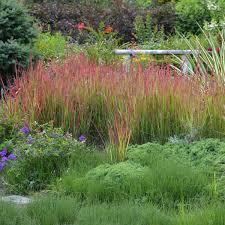 imperata cylindrica baron walters gardens inc