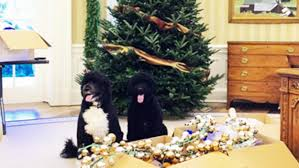 first dogs bo and sunny help deck the white house halls for christmas