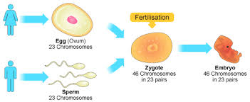 Which Is A Reproductive Cell Bbc Gcse Bitesize Cells And Chromosomes