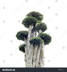 ornamental hedge bush tree plant stock photo 86456965