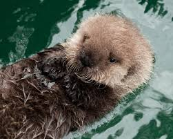 Sea Otter Meme - animals ocean sea otter funny animal memes images animals for hd