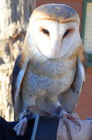 Barn Owl Holidays Barn Owls Holler Hawks In Flight U0026 Happy Holidays To You