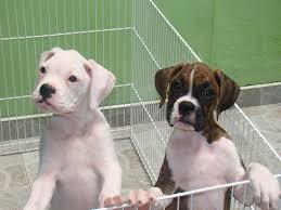 bulldog y boxer criadero bulldogs ingles y boxer jalijam mejia cachorros boxer u0027s