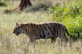 enchanting facts about tigers that kids will enjoy reading
