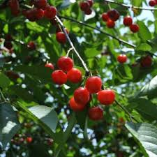 Best Fruit Trees For North Carolina - what are espaliered fruit trees stark bro u0027s