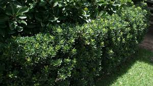 hedging plants budget wholesale nursery rhaphiolepis snow maiden hedge suggest for carspace garden to