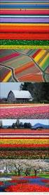 Netherlands Tulip Fields 95 Best Tulip Fields Images On Pinterest Tulip Fields Flowers