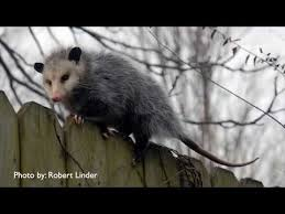 Possum In My Backyard How To Catch And Repel Opossums In Your Yard Youtube