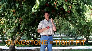 freestone or clingstone peach youtube