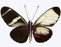 genes color a butterfly u0027s wings now scientists want to do it