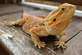 bearded dragons dragon rancher