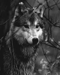 wolf black and white photography the best wolf of 2018