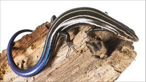 Seeking Lizard Lizard Racing Stripes Redirect Predator Attacks Science Aaas