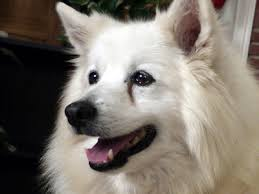 american eskimo dog price in india tear stains american eskimo dogs tear stained eyes eskie